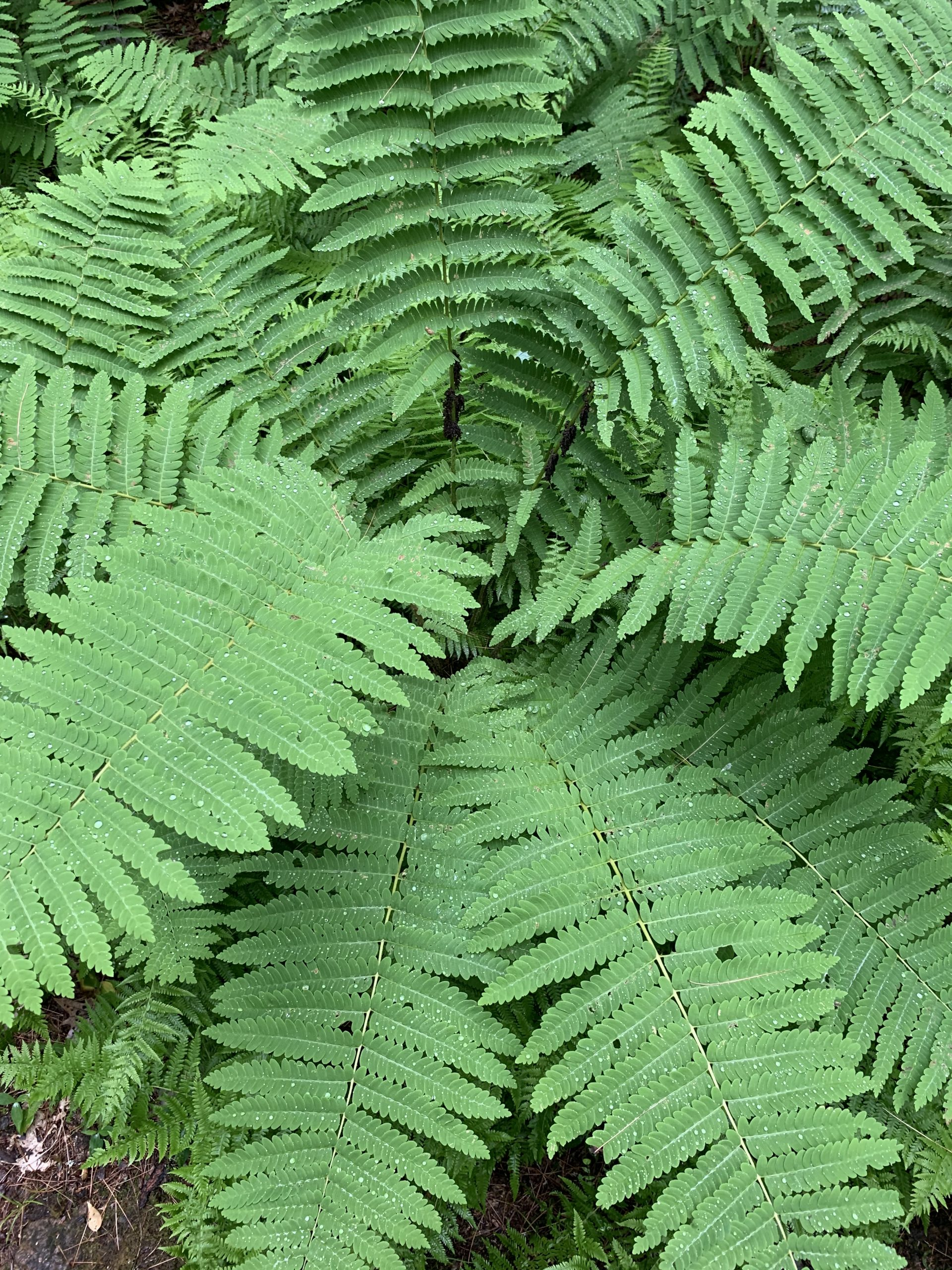 Close Up of ferns, Tully Trail, Royalston, MA