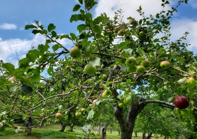 Late summer image from the apple orchard